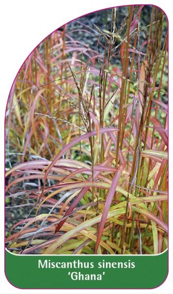 Pennisetum alopecuroides 'Ghana', 68 x 120 mm