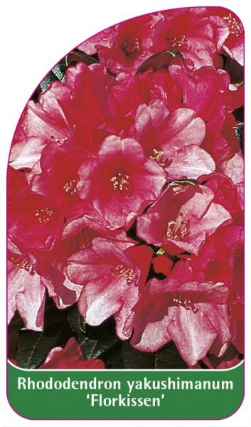 Rhododendron yakushimanum 'Florkissen', 68 x 120 mm