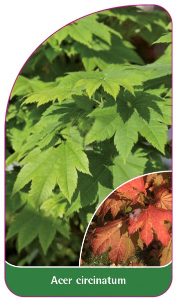 Acer circinatum, 68 x 120 mm