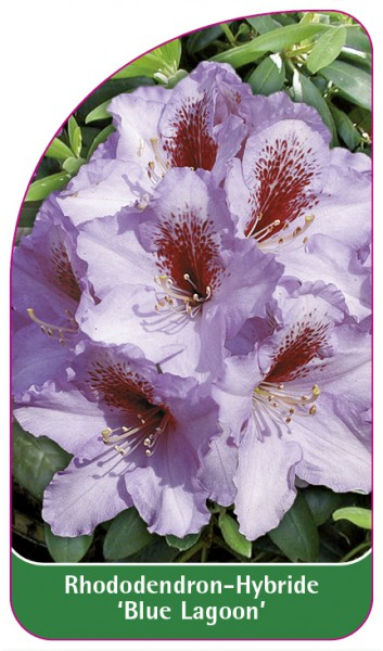 Rhododendron-Hybride 'Blue Lagoon', 68 x 120 mm