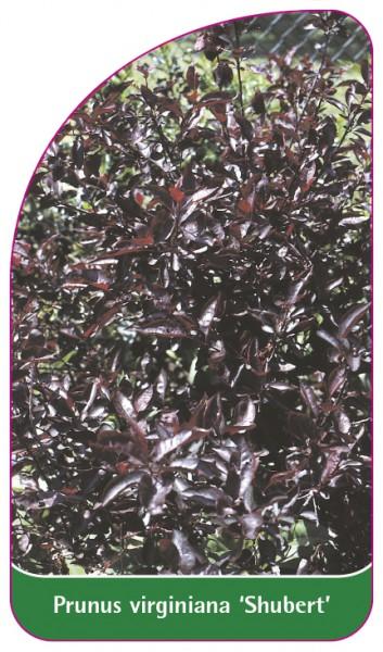 Prunus virginiana 'Shubert', 68 x 120 mm