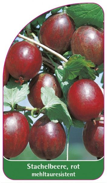 Stachelbeere, rot - mehltauresistent, 68 x 120 mm
