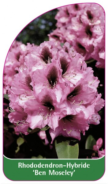 Rhododendron-Hybride 'Ben Moseley', 68 x 120 mm