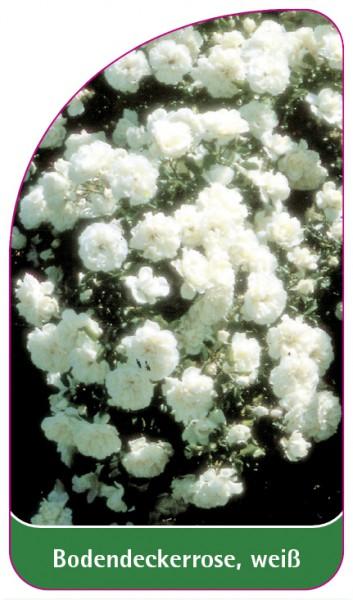 Bodendeckerrose, weiß, 68 x 120 mm