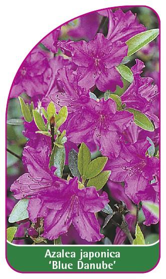 Azalea japonica 'Blue Danube', 52 x 90 mm