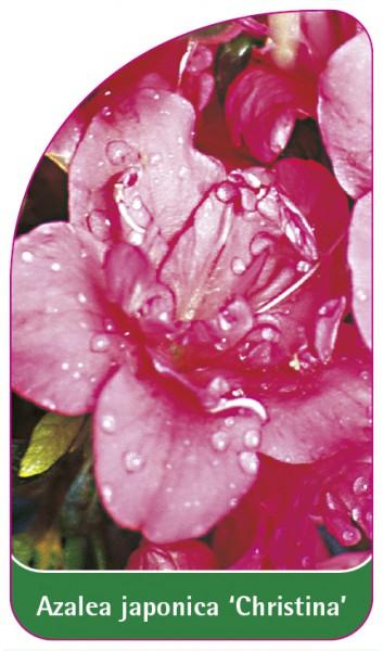Azalea japonica 'Christina', 68 x 120 mm