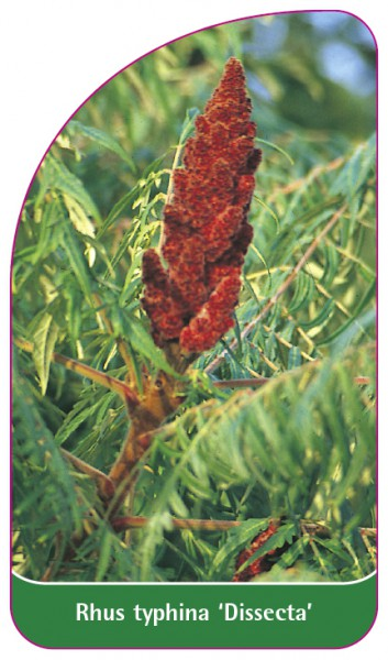 Rhus typhina 'Dissecta', 68 x 120 mm