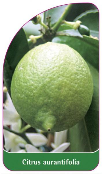 Citrus aurantifolia, 68 x 120 mm
