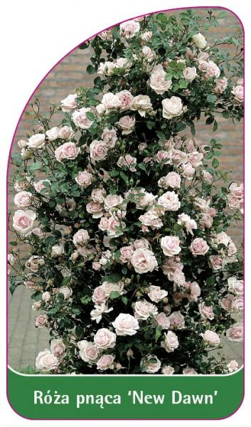 Róza pnąca 'New Dawn' Nr. 326, 68 x 120 mm