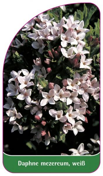 Daphne mezereum, weiß, 68 x 120 mm