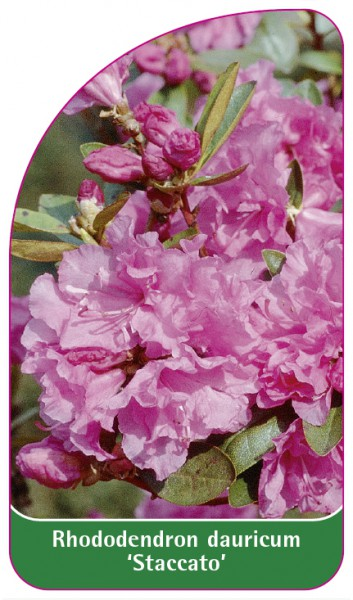Rhododendron dauricum 'Staccato', 68 x 120 mm
