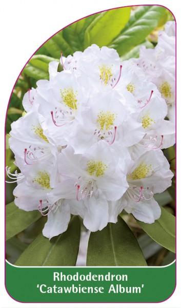 Rhododendron 'Catawbiense Album', 68 x 120 mm