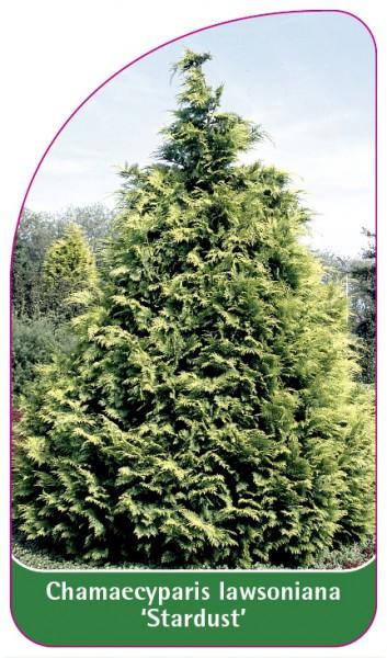 Chamaecyparis Iawsoniana 'Stardust', 68 x 120 mm
