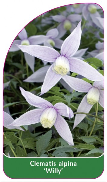 Clematis alpina 'Willy', 68 x 120 mm