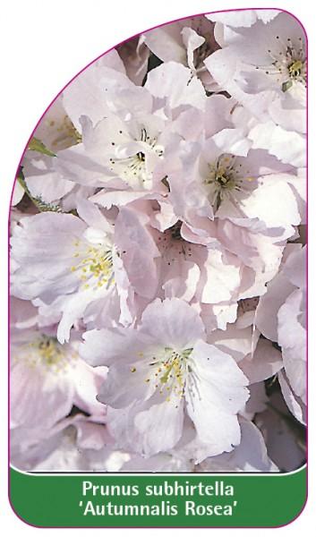 Prunus subhirtella 'Autumnalis Rosea', 68 x 120 mm