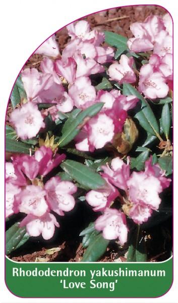 Rhododendron yakushimanum 'Love Song', 68 x 120 mm