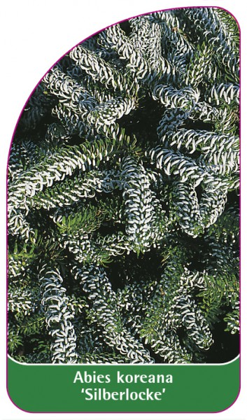 Abies koreana 'Silberlocke', 68 x 120 mm