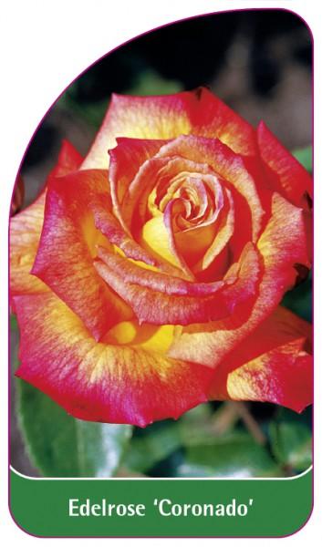 Edelrose 'Coronado', 68 x 120 mm