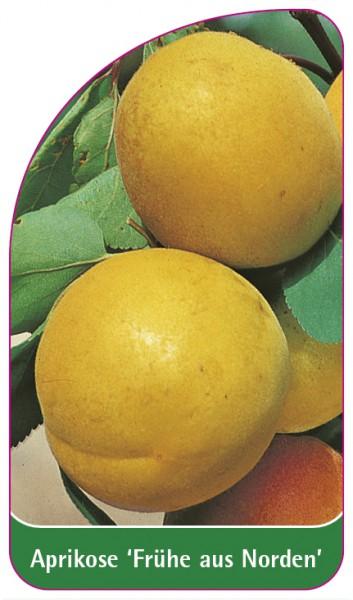 Aprikose 'Frühe aus Norden', 68 x 120 mm