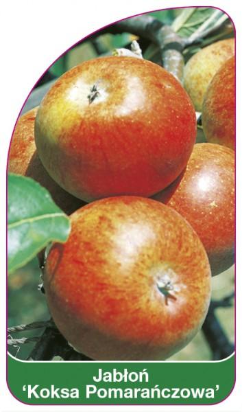 Jabłoń 'Koksa Pomarańczowa', 68 x 120 mm