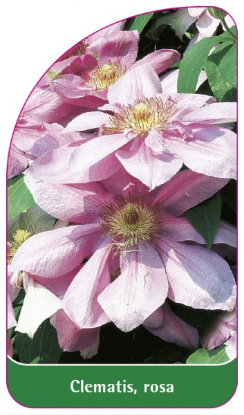 Clematis, rosa, 68 x 120 mm