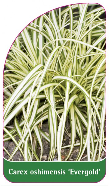 Carex oshimensis 'Evergold', 68 x 120 mm
