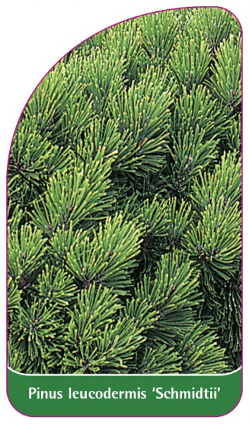 Pinus leucodermis 'Schmidtii', 68 x 120 mm