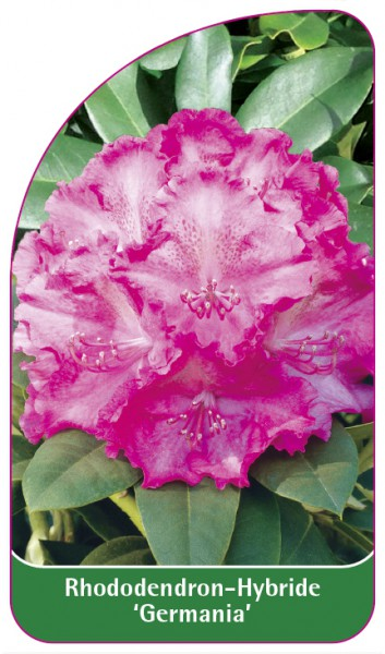 Rhododendron-Hybride 'Germania', 68 x 120 mm
