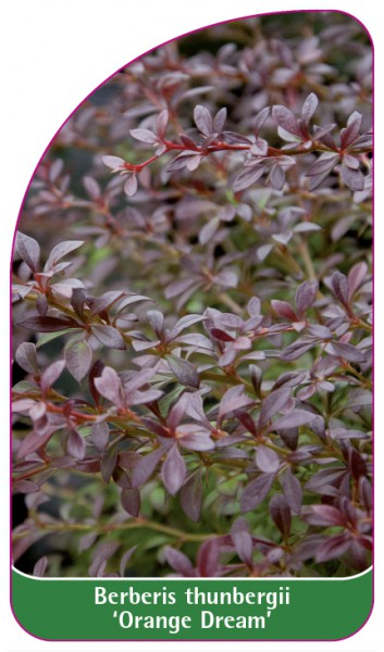 Berberis thunbergii 'Orange Dream', 68 x 120 mm