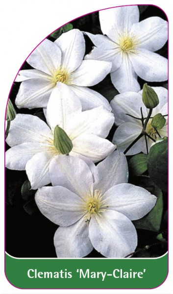 Clematis 'Mary-Claire', 68 x 120 mm