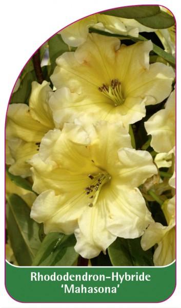 Rhododendron-Hybride 'Mahasona', 68 x 120 mm