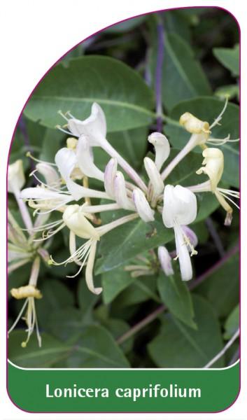 Lonicera caprifolium, 68 x 120 mm
