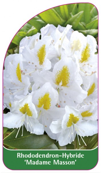 Rhododendron-Hybride 'Madame Masson', 68 x 120 mm