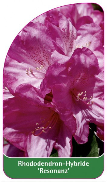 Rhododendron-Hybride 'Resonanz', 68 x 120 mm