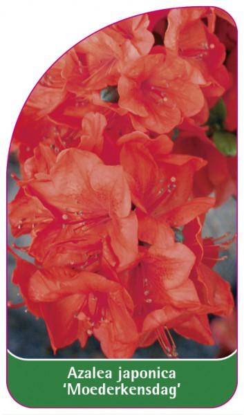 Azalea japonica 'Moederkensdag', 68 x 120 mm