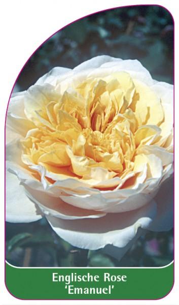Englische Rose 'Emanuel', 68 x 120 mm