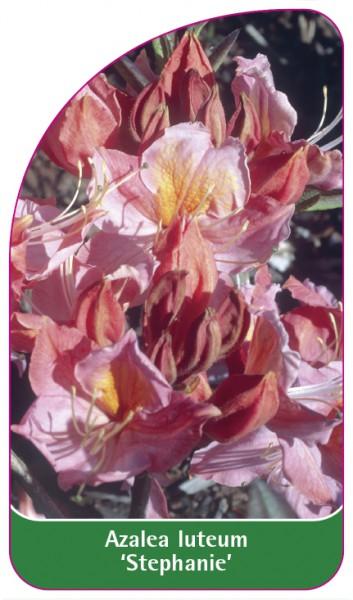Azalea luteum 'Staphanie', 68 x 120 mm
