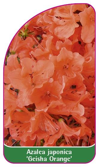 Azalea japonica 'Geisha Orange', 52 x 90 mm