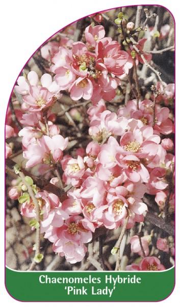 Chaenomeles Hybride 'Pink Lady', 68 x 120 mm