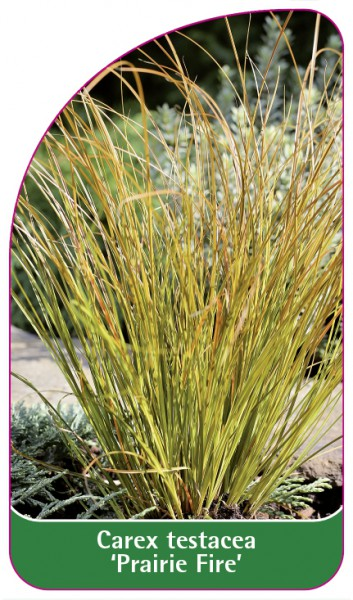 Carex testacea 'Prairie Fire', 68 x 120 mm