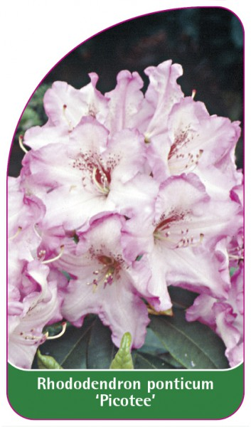 Rhododendron ponticum 'Picotee', 68 x 120 mm