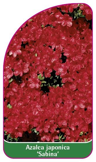 Azalea japonica 'Sabina', 52 x 90 mm