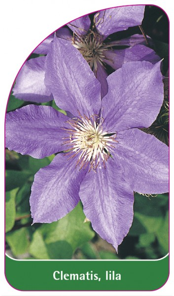 Clematis, lila, 68 x 120 mm