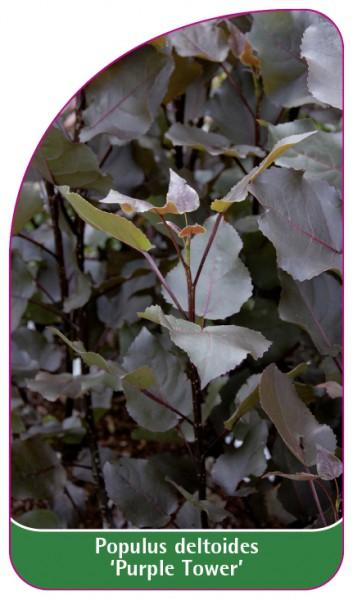 Populus deltoides 'Purple Tower', 68 x 120 mm