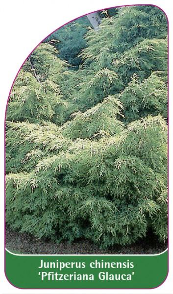 Juniperus chinensis 'Pfitzeriana Glauca', 68 x 120 mm