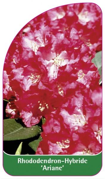 Rhododendron-Hybride 'Ariane', 68 x 120 mm