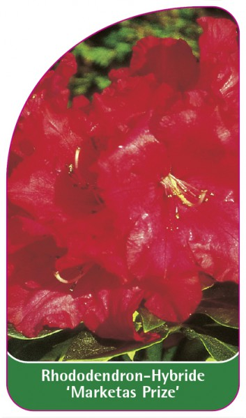 Rhododendron-Hybride 'Marketas Prize', 68 x 120 mm