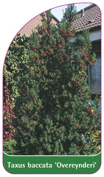 Taxus baccata 'Overeynderi', 68 x 120 mm