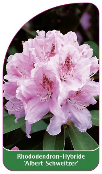 Rhododendron-Hybride 'Albert Schweitzer', 68 x 120 mm