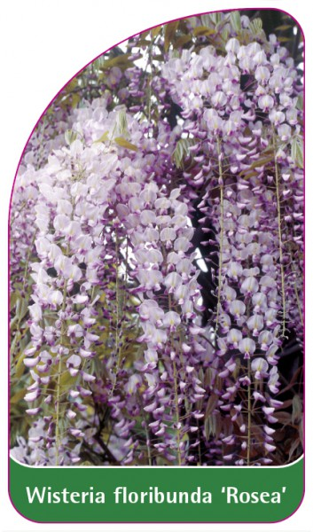 Wisteria floribunda 'Rosea', 68 x 120 mm